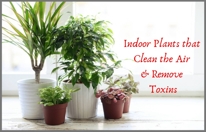 Top 8 Indoor Plants That Clean The Air And Remove Toxins Indiagift