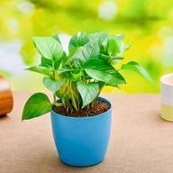 Indoor plants Online in India
