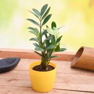 Zamioculcas Zamiifolia, ZZ Plant (Small) - Plant
