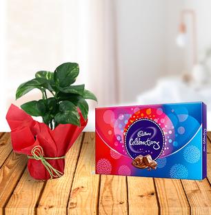 Money Plant and Celebration Chocolates