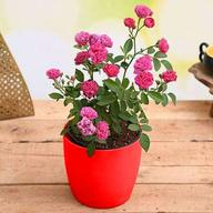 Admire True Love with Miniature Pink Rose