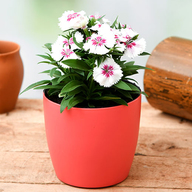 Dianthus (White Pink) - Plant