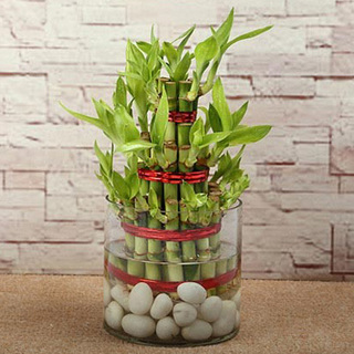 Lucky Bamboo Plant Triple Layer