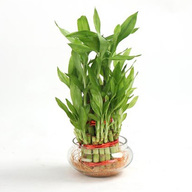 Lucky Bamboo Plant Double Layer