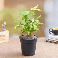 Dracaena surculosa Aurea, Golddust Dracaena - Plant