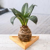 Sansevieria Plant Moss Ball with Plate - Kokedama