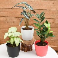 Top 3 Table Top / Office Desk Plants