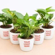 Money Plant (Green) - Gift Pack