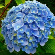 Hydrangea macrophylla (Any Color) - Plant