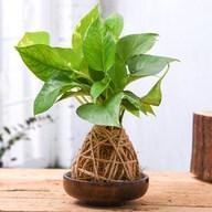 Air Purifier Green Money Plant Moss Ball with Saucer - Kokedama