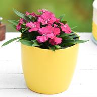 Dianthus (Dark Pink) - Plant