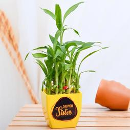 2 Layer Lucky Bamboo for Super Sister