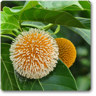 Kadamba - Plant