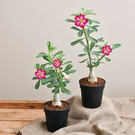 Bonsai Looking Grafted Adenium Plants