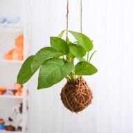 Air Purifier Money Plant Moss Ball - Kokedama