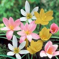Zephyranthes Grandiflora, Rain Lily (Any Color) - Plant
