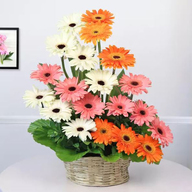 Basket of Mixed Gerberas