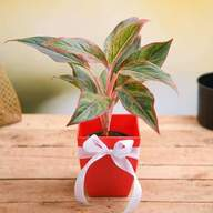 Celebrate Anniversary with Aglaonema Plant