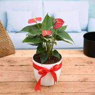 Symbol of Endless Love Red Anthurium - Gift Plant