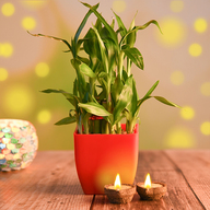 Lucky bamboo with Eco Friendly Diyas