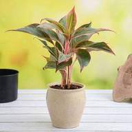Aglaonema Plant in Decorative Ceramic Pot