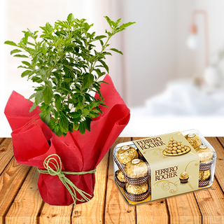 Tulsi Plant and Ferrero Chocolates