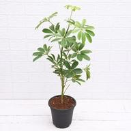 Schefflera - Plant