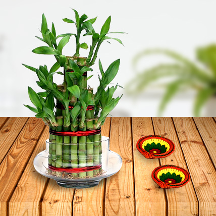 Lucky Bamboo Plant Triple Layer and Diyas