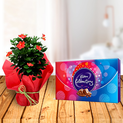 Hibiscus Plant and Celebration Chocolates