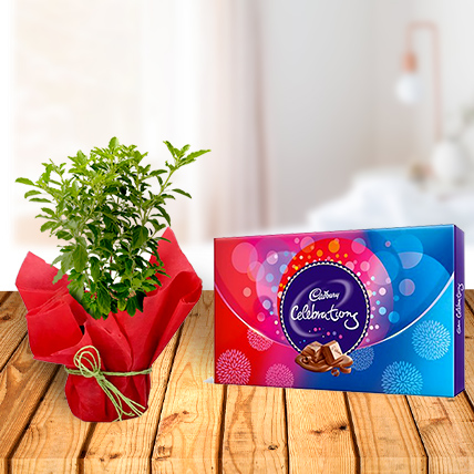 Tulsi Plant and Celebration Chocolates