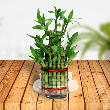 Valentine Bamboo Plant