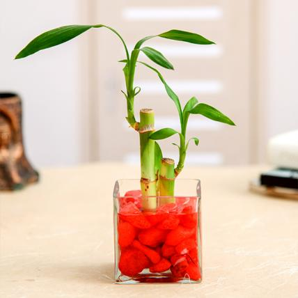 2 Lucky Bamboo Stalks (A Symbol of Love)