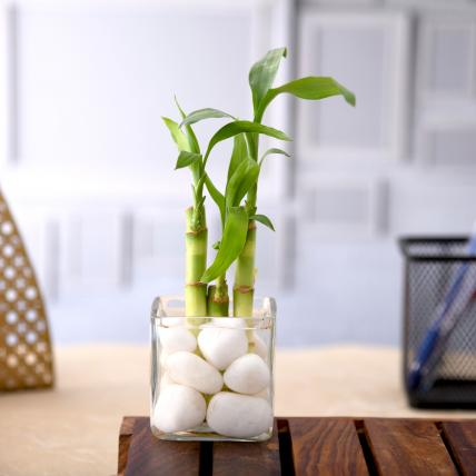 3 Lucky Bamboo Stalks (A Symbol of Happiness)