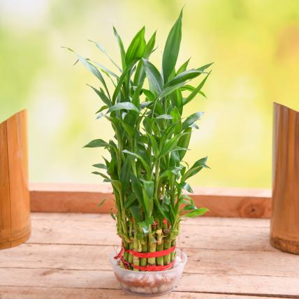 3 Layer Lucky Bamboo Plant in a Bowl with Pebbles