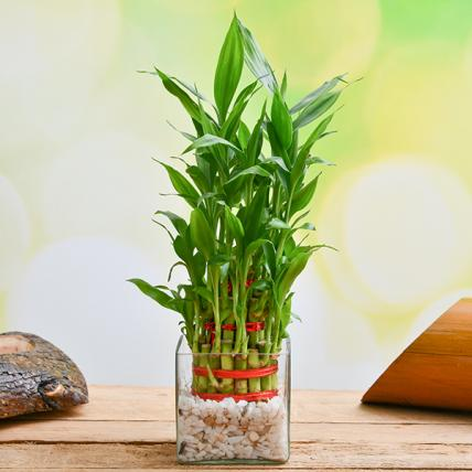 3 Layer Lucky bamboo in Glass Vase