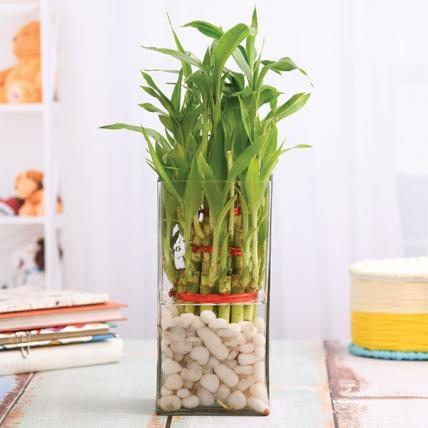 3 Layer Lucky Bamboo in Vase