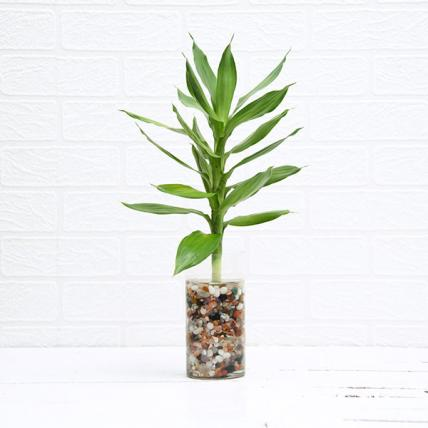 Lotus Lucky Bamboo Plant in Vase