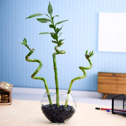 3 Spiral Sticks Lucky Bamboo in a Glass Vase