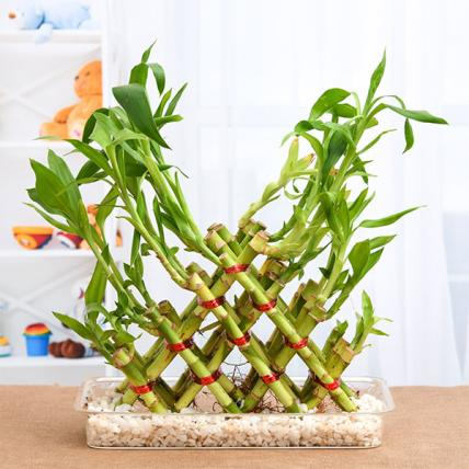 4 Layer Pyramid Lucky Bamboo