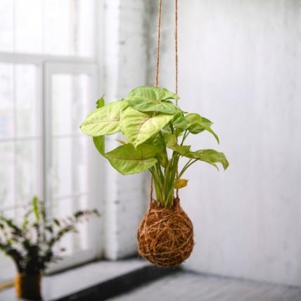 Syngonium Plant Moss Ball - Kokedama