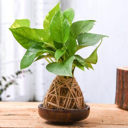 Air Purifier Green Money Plant Moss Ball with Saucer - Kokedama