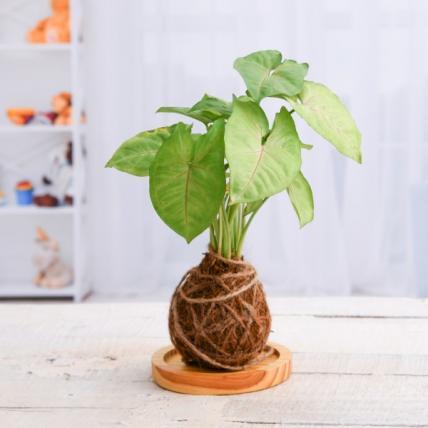 Syngonium Plant Moss Ball with Plate - Kokedama