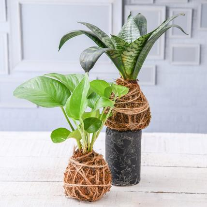 Indoor Air Purifier Moss Balls - Kokedama