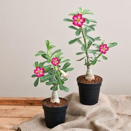 Bonsai Looking Grafted Adenium Plants