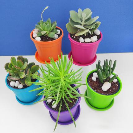 Summer Succulent Plants Pack