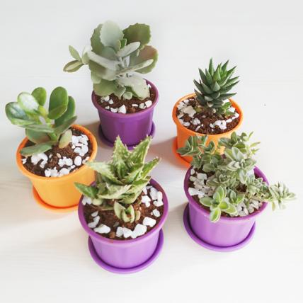 Easy Succulent Pack