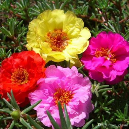 Portulaca, 9 O Clock (Any Color) - Plant