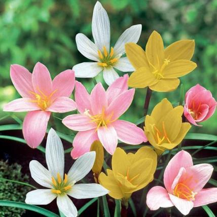 Zephyranthes Grandiflora, Rain Lily (Any Color) - Plant
