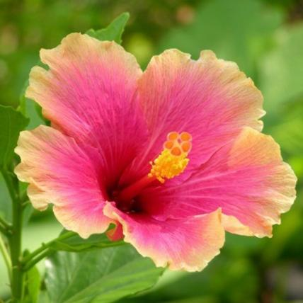 Hibiscus (Any Color) - Plant