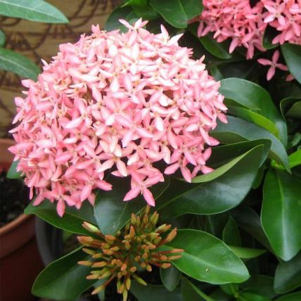 Ixora Mini Dwarf (Any Color) - Plant